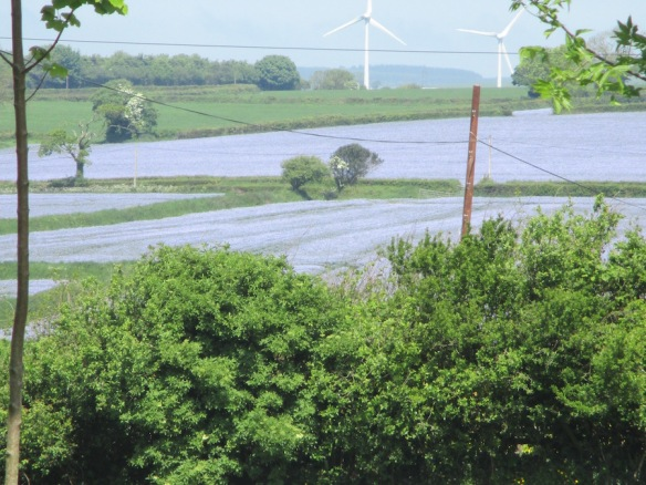 north-devon-flax-fields-may-2016