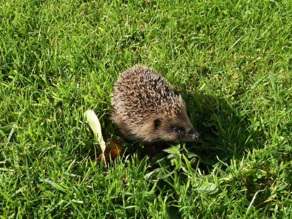Another-hedgehog