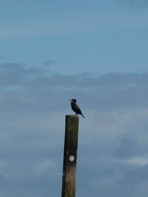 cormorant-blog