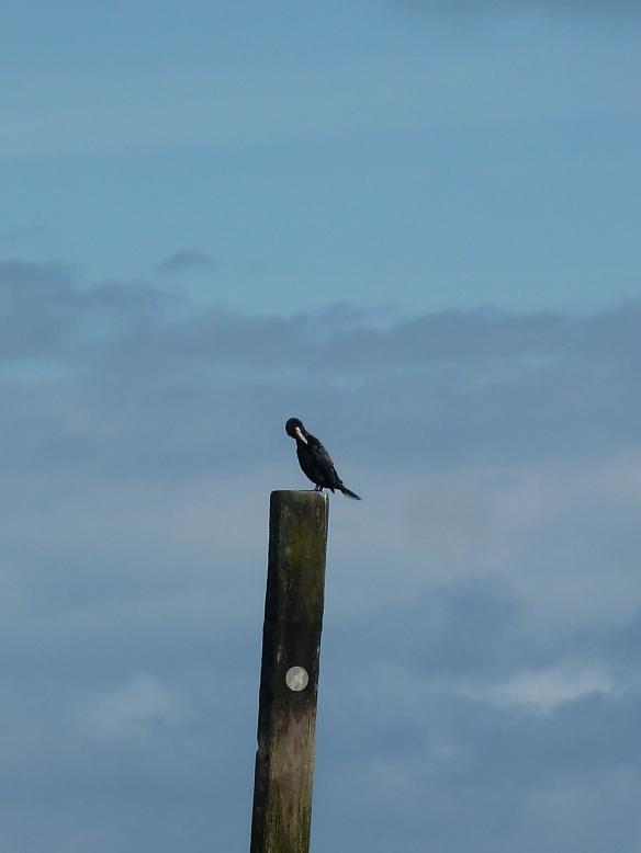 cormorant2-blog
