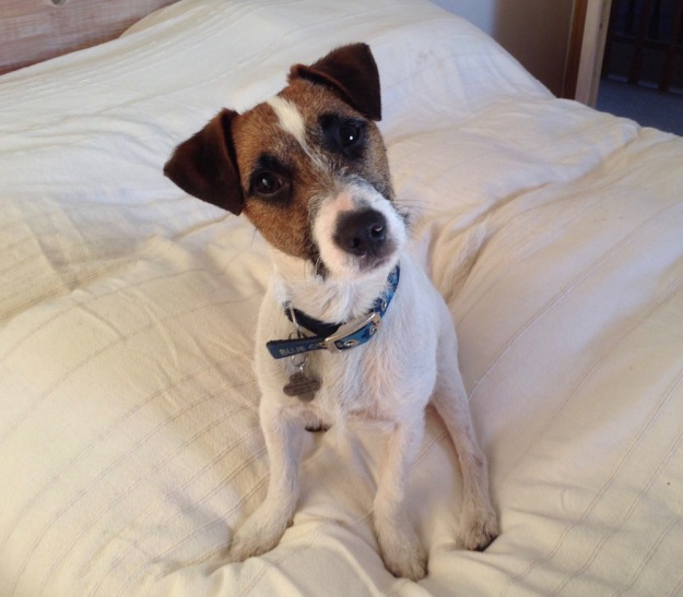 jack-russell-UK