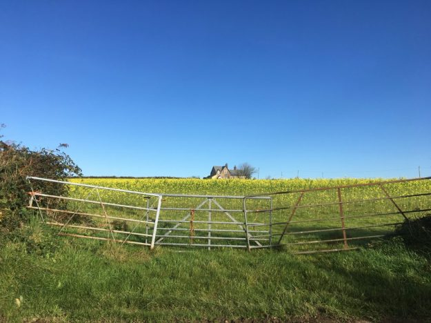blue-sky-in-november-and-mustard-crop
